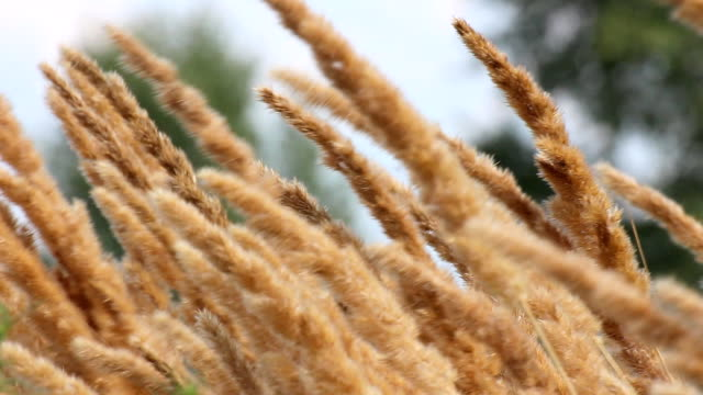 Reed canary grass video