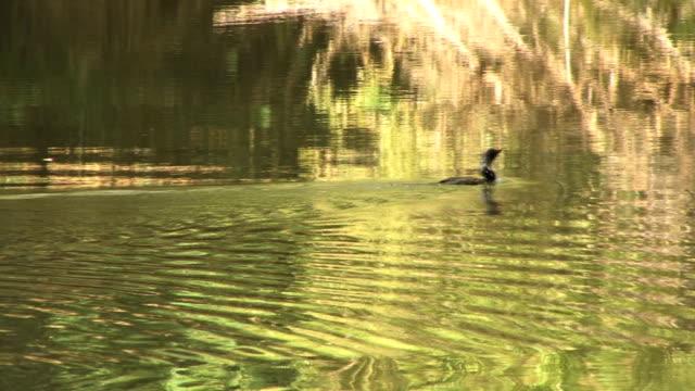 リード comorant - 水鳥点の映像素材/bロール