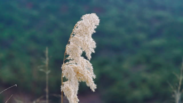 Reed Phragmites in wind with green background