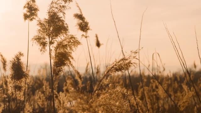 日没前に風に揺れる葦。ピンクの葦湖夕日。 - 湿地草点の映像素材/bロール