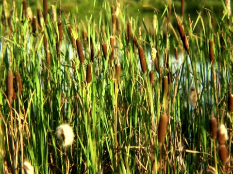 PAL: Reed Videos of plants and flowers. blade of grass stock videos & royalty-free footage