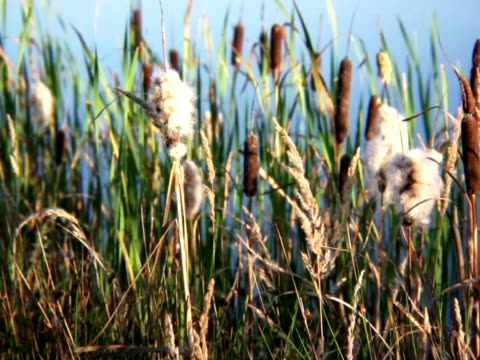 PAL: Reed Videos of plants and flowers  blade of grass stock videos & royalty-free footage