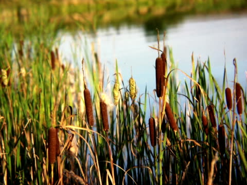 PAL: Reed Reed at a lake. blade of grass stock videos & royalty-free footage
