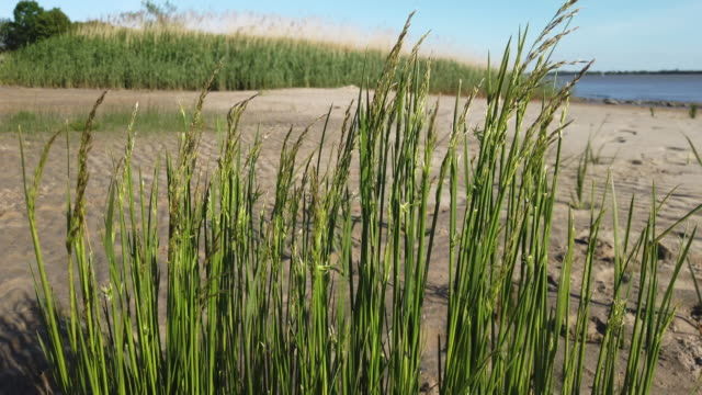 Reed reed grass on the beach of river Elbe coastal feature stock videos & royalty-free footage