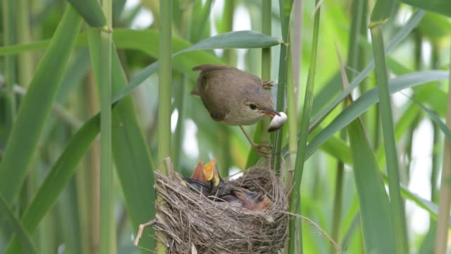 Reed warbler who takes away the faecal sacs of the chicks
