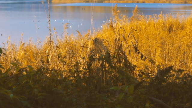 Reeds and birds by the lake video