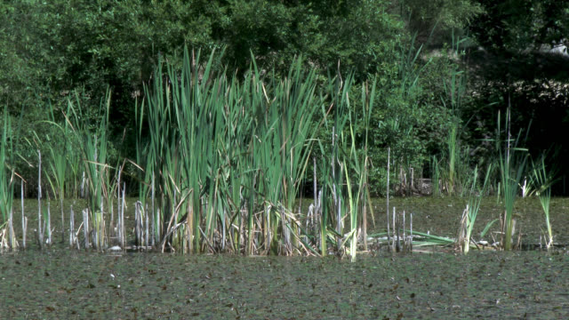 Reeds and trees moving in the wind Overgrown area of land beside a pond in south west Scotland dumfries and galloway stock videos & royalty-free footage