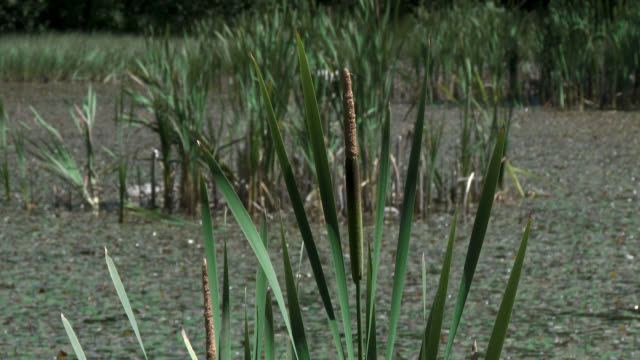 Reeds and trees moving in the wind Overgrown area of land beside a pond in south west Scotland 天の川 stock videos & royalty-free footage