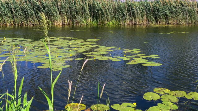 Reeds and water lilies on the river video