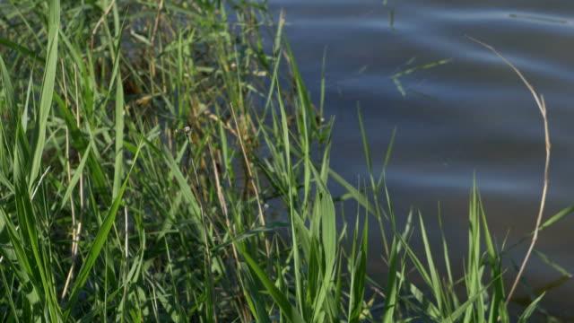 葦は風に手を振っています。 - 湿地草点の映像素材/bロール