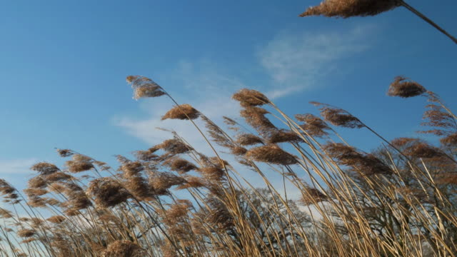 Reeds blowing in the wind.