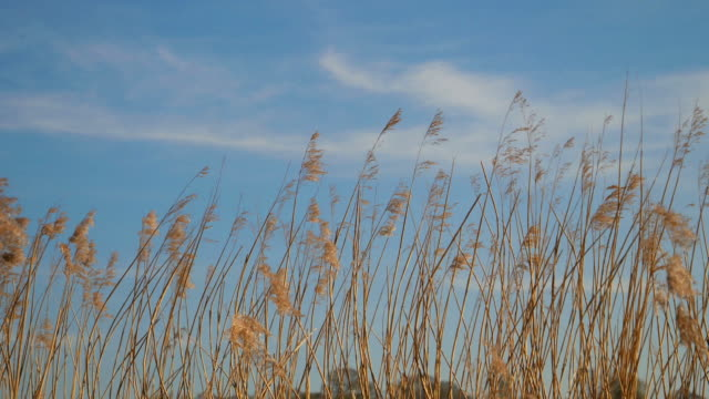 Reeds gently blowing in the wind.