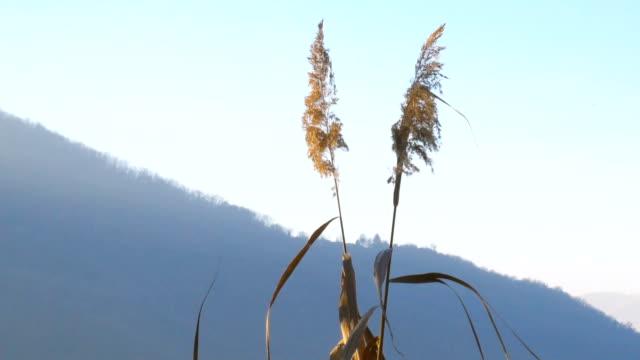 schilf im wind und blauer himmel - baumgruppe stock-videos und b-roll-filmmaterial