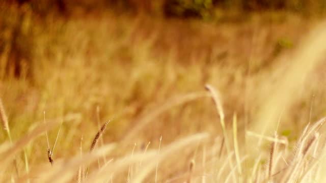 reeds im wind - rohrblattinstrument stock-videos und b-roll-filmmaterial