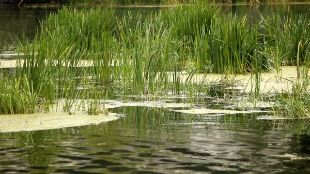 Reeds on the river. – Video