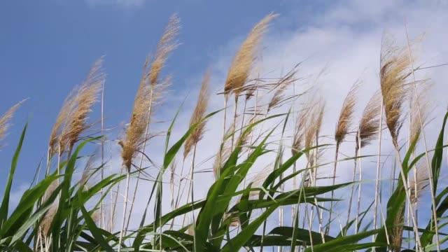 リードが風に揺れている。イズミル イズミル/トルコ 11/05/2015 - 湿地草点の映像素材/bロール