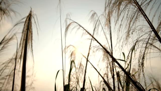 Reeds swing towards sun