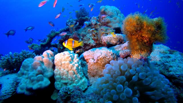 Reef Coral Garden Clownfish Underwater tropical clownfish (Amphiprion bicinctus) and sea anemones. Red Sea anemones. Tropical colorful underwater clown fish. Reef coral scene. Coral garden seascape. Colorful tropical coral reefs. aquatic organism stock videos & royalty-free footage