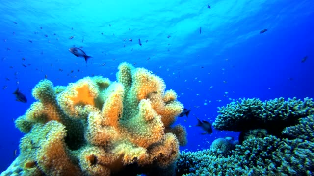 Reef Coral Garden Underwater Life Underwater tropical colourful soft-hard corals seascape. Underwater fish reef marine. Tropical colourful underwater seascape. Reef coral scene. Coral garden seascape. Colourful tropical coral reefs aquatic organism stock videos & royalty-free footage
