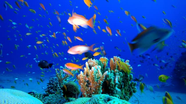 Reef Coral Garden Underwater Tropical fish reef marine. Soft-hard corals seascape. Vibrant coral garden. Reef coral scene. Beautiful soft coral. Sea coral reef. Soft coral broccoli. Coral scene aquatic organism stock videos & royalty-free footage
