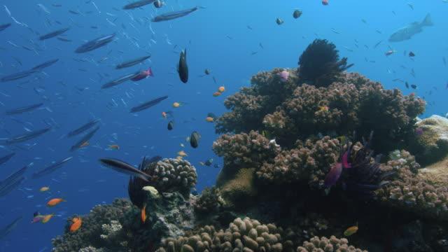 vídeos y material grabado en eventos de stock de los peces de arrecife nadan alrededor de un coral bommie. gran barrera de coral. australia. a cámara lenta. grabado con cámara roja. disparo pov. - tubo