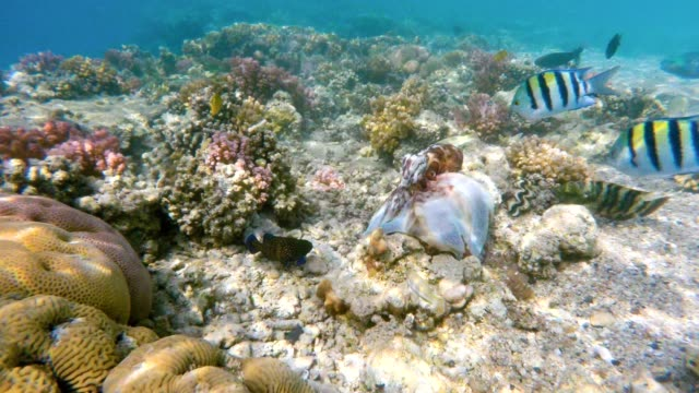 reef octopus (octopus cyanea) and fish on coral reef - kamuflaż filmów i materiałów b-roll