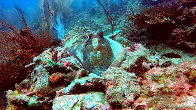 reef octopus (octapus cyanea) camouflaged in coral reef - kamuflaż filmów i materiałów b-roll
