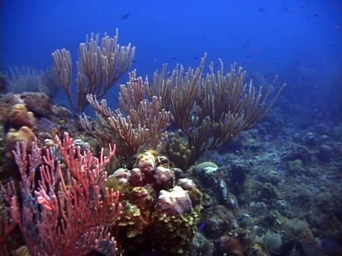 stockvideo's en b-roll-footage met reef profile with gorgonians - providenciales