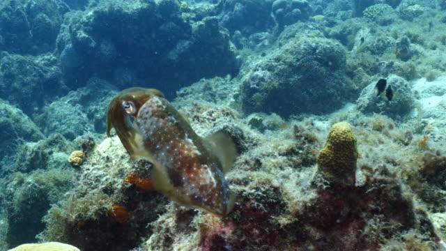 Riff Tintenfisch am Korallenriff in der Karibik auf Curacao – Video