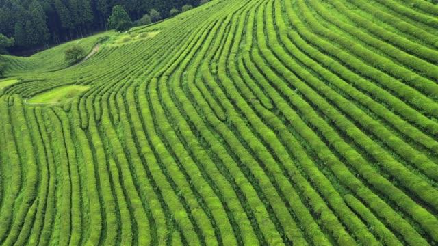 vídeos de stock e filmes b-roll de reen tea plantation 4k aerial drone footage - coreia do sul