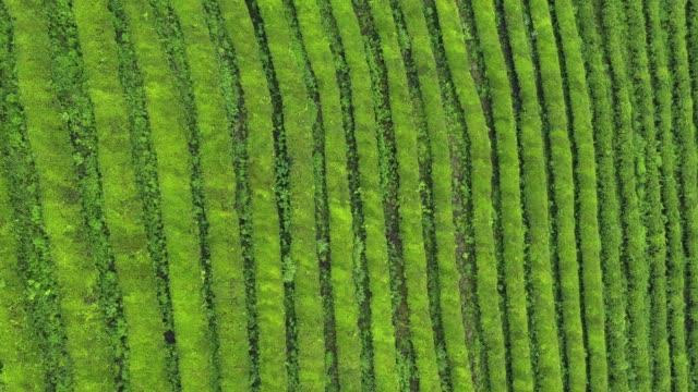 reen Tea Plantation 4K Aerial Drone Footage