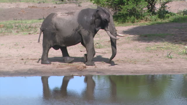 Reflection of bull elephant in waterhole as he comes to drink.