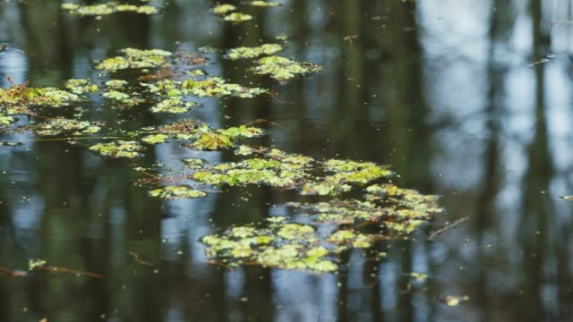 Reflection of Cypress Trees and Salvinia Floating in the Atchafalaya River Basin Swamp in Southern Louisiana Under an Overcast Sky