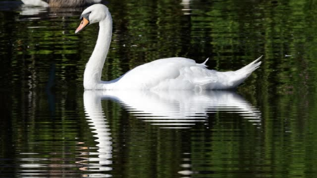Reflection with expanding ripples beneath swimming mute swan hd video video