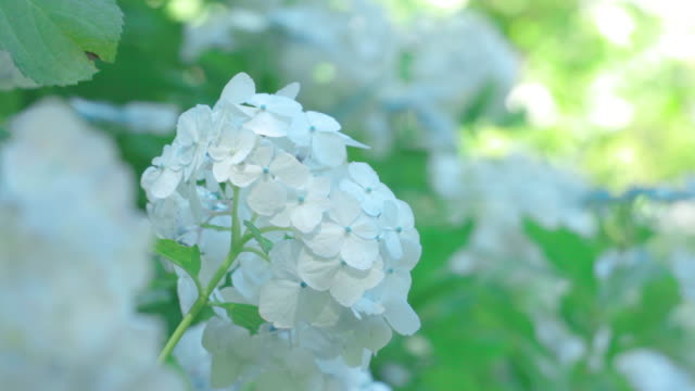 A refreshing hydrangea flower swaying in the wind