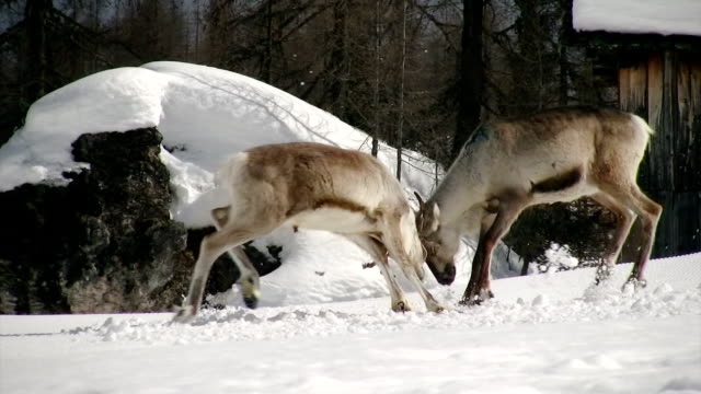 reindeer fight first part - reindeer stock videos and b-roll footage