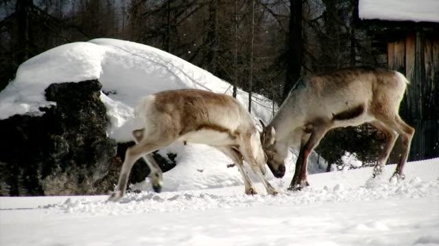 vídeos y material grabado en eventos de stock de reno lucha primera parte - reno mamífero
