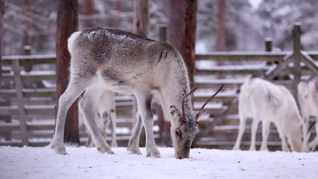 reindeer grazing - reindeer stock videos and b-roll footage