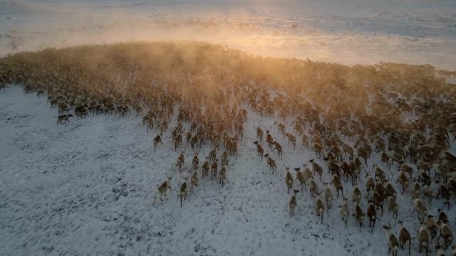 vídeos de stock, filmes e b-roll de rena rebanho correndo, pôr do sol, dolly, rastreando os animais - manada