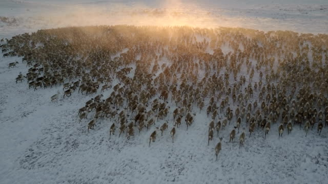 reindeer herd, sunset, dolly in, looking forward, almost tracking the animals - mandriano video stock e b–roll