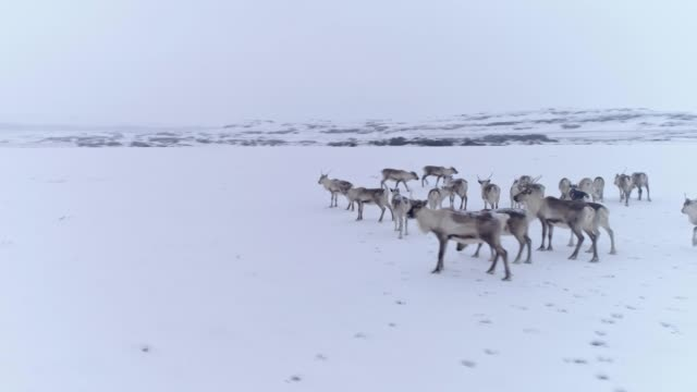 ms reindeer in remote snow covered landscape,iceland - reindeer stock videos and b-roll footage