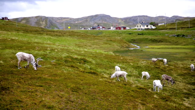 vídeos y material grabado en eventos de stock de renos en el norte de noruega, nordkapp - reno mamífero