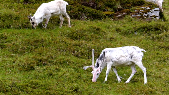 Reindeer in the North of Norway, Nordkapp video
