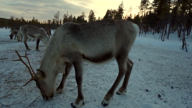 stockvideo's en b-roll-footage met rendieren in theforest - rendier