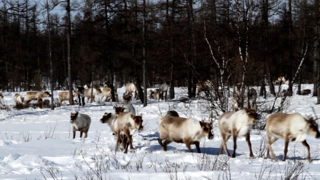 Reindeer on pastures video