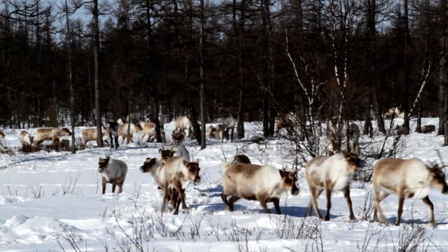 vídeos y material grabado en eventos de stock de reno sobre prados - reno mamífero