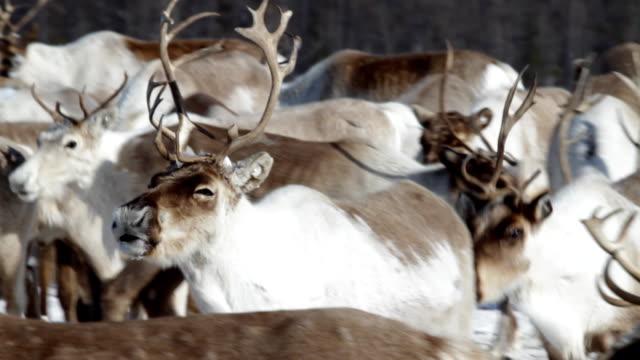 reindeer on pastures - reindeer stock videos and b-roll footage
