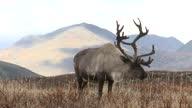 istock Reindeer on the background of autumn hills 1297255664