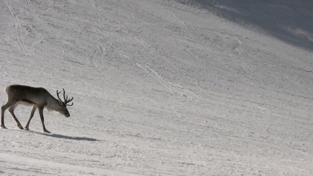 reindeer passing by - reindeer stock videos and b-roll footage