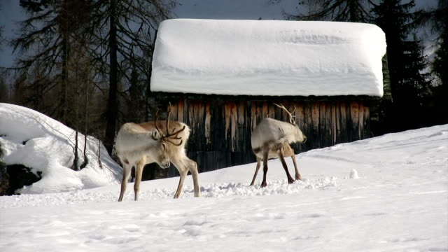 reindeer synchronized scratching - reindeer stock videos and b-roll footage